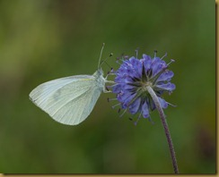 Small White on Scabius