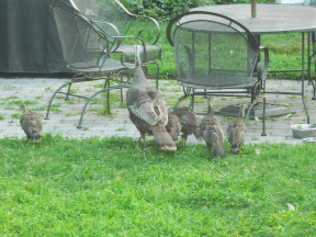 Then 2 days ago on the 18th, they were back. Here are 5 of the 7 babies with the mom