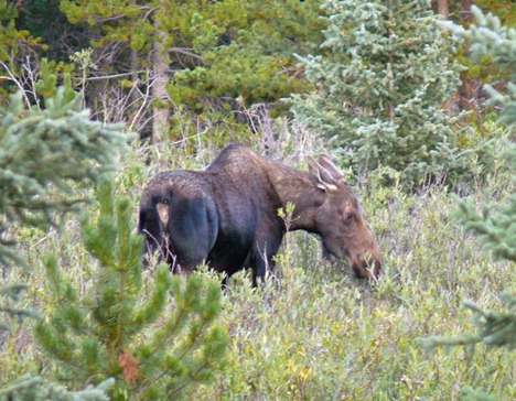 Moose at Ten Sleep Lake