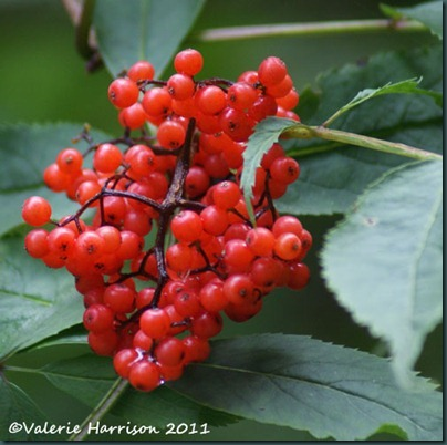 11-Red-Elderberry-Sambucus-racemosa