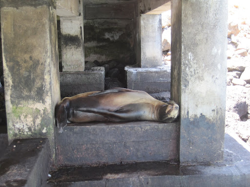 Sea lion sleeping under the pier at Isla Balta