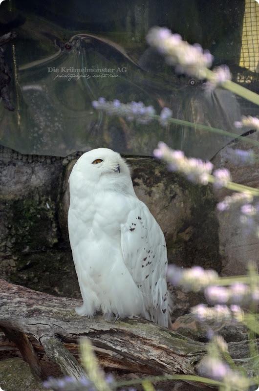 Wremen 29.07.14 Zoo am Meer Bremerhaven 38 Schneeeule
