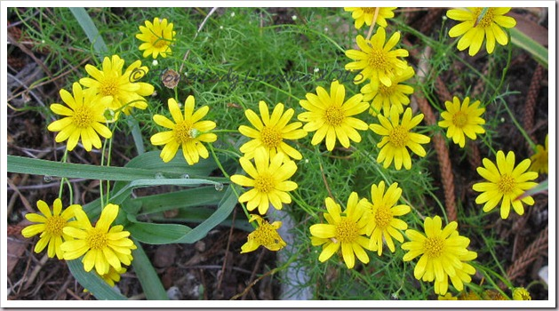 04-10-dahlburg-daisies