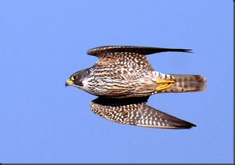 falcon_on_the_wing