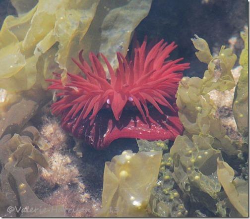 7-beadlet-anemone