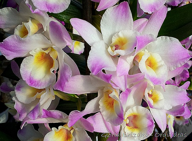 Glória Ishizaka - orquideas 16