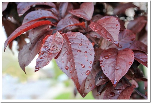 130331_Prunus-cerasifera-Krauter-Vesuvius_01