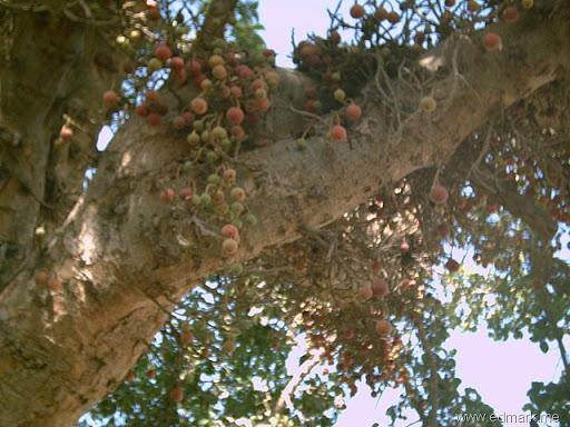 شجرة الجميز -ثمر الجميز-فوائد الجميز/سعيد الاعور 26.06.13 A%252527CG%252529%252520%252527D%25252CEJ2%25255B11%25255D