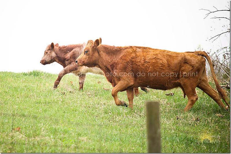 cows-5526