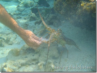 lobster feeding, French Cay