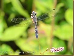 Blue Dasher femaleD7K_0352 NIKON D7000 July 20, 2011