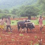 men with oxen.jpg
