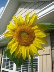 sunflowers_thumb1