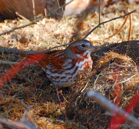 1. fox Sparrow-kab