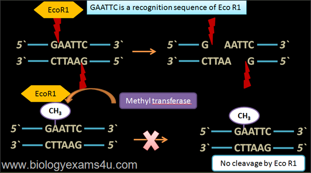 Methyl transferase in rDNA technology