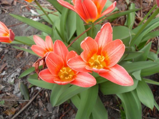 Tulipaner lige uden for skolen - april 2013