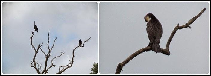 5 Cormorants