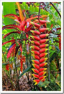 130713_TropicalGardensOfMaui_Heliconia-rostrata_004
