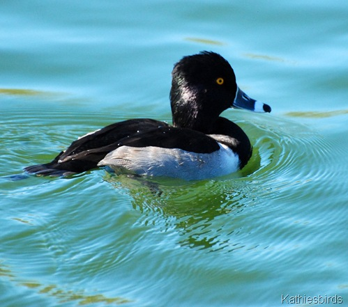 4. ring-necked duck-kab