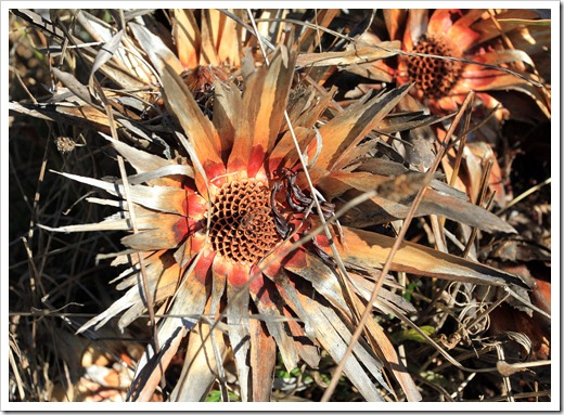 121027_UCSCArboretum_Protea-neriifolia_02