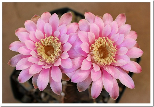 110824_gymnocalycium_friedrichii_15