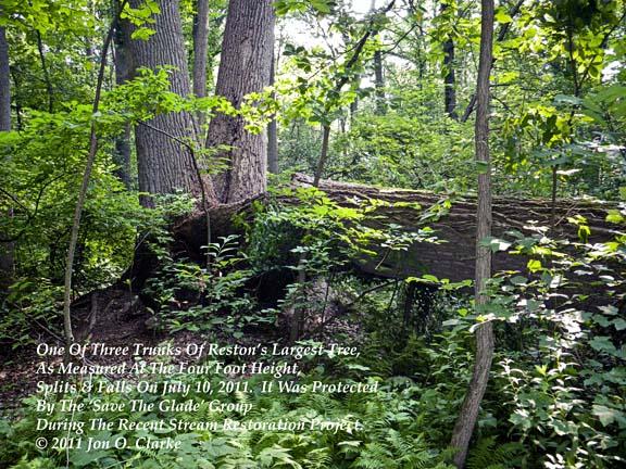 IMGP0592-One_of_Three_Trunks_of_Reston's_Largest_Tree_Splits_and_Falls_on_July_10,_2011_C_Jon_O._Clarke.jpg