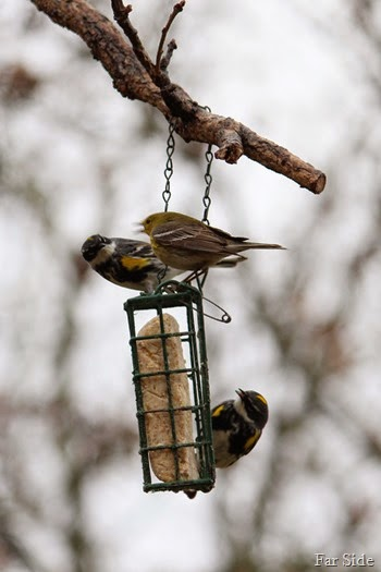 Goldfinch and Warblers