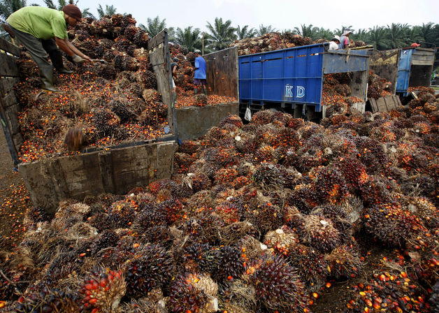 Workers unload trucks of harvested oil palm fruit at a plantation and production factory in Kertajaya, Indonesia. Palm oil may decline to average 3,078 ringgit in the fourth quarter because a projected surplus for the crop won't be entirely erased by shortages of soybean oil. Dadang Tri / Bloomberg