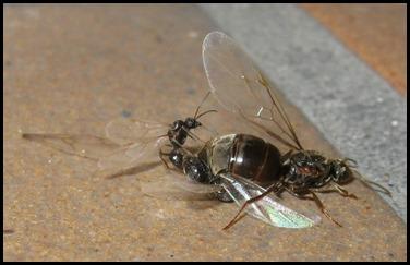Accoppiamento formiche