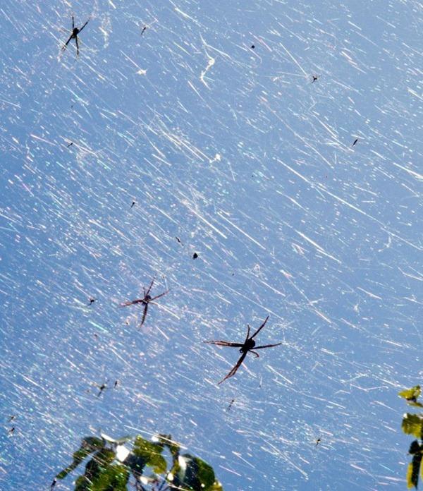 Guam-spider-explosion-picture