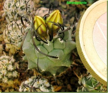 T. schmiedickeanus ssp. klinkerianus