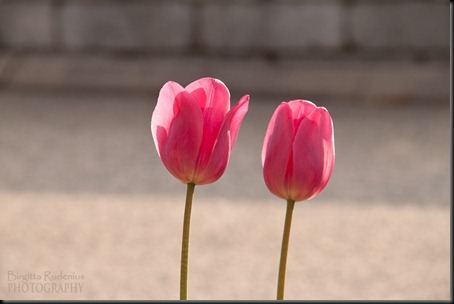 blom_20120519_2tulips