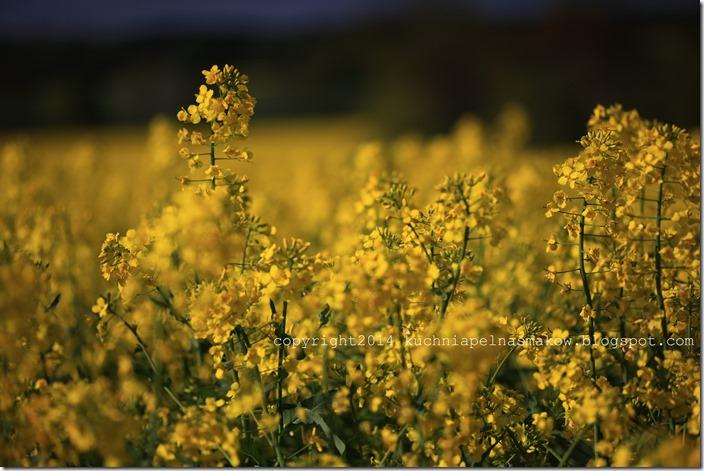rzepakowe pola (23)
