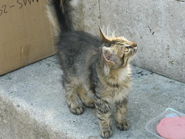 Instanbul Kitten