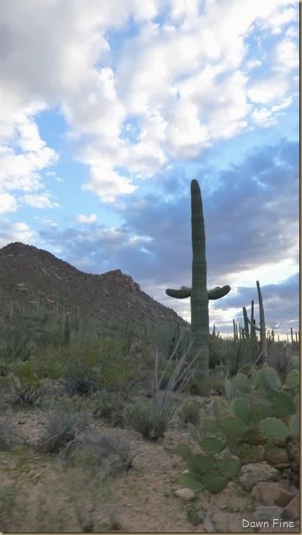 Saguaro NP West_072