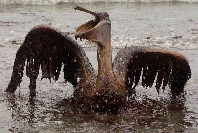 A Brown Pelican coated with oil from the BP oil spill in the Gulf of Mexico is seen on the beach at East Grand Terre Island along the Louisiana coast on Thursday, 3 June 2010. Photo: Charlie Riedel / AP