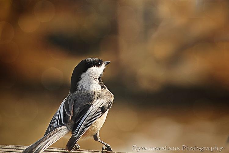 blackcap chickadee-w