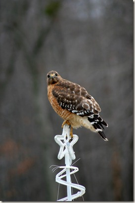 Red-shouldered hawk, Bird, Raptor