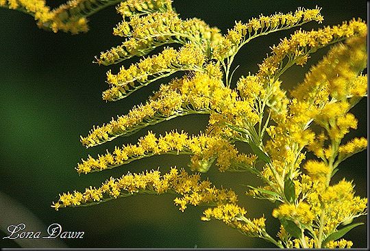 CH_SweetGoldenrod2_2012