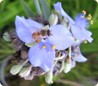 05-16-spiderwort-bee2