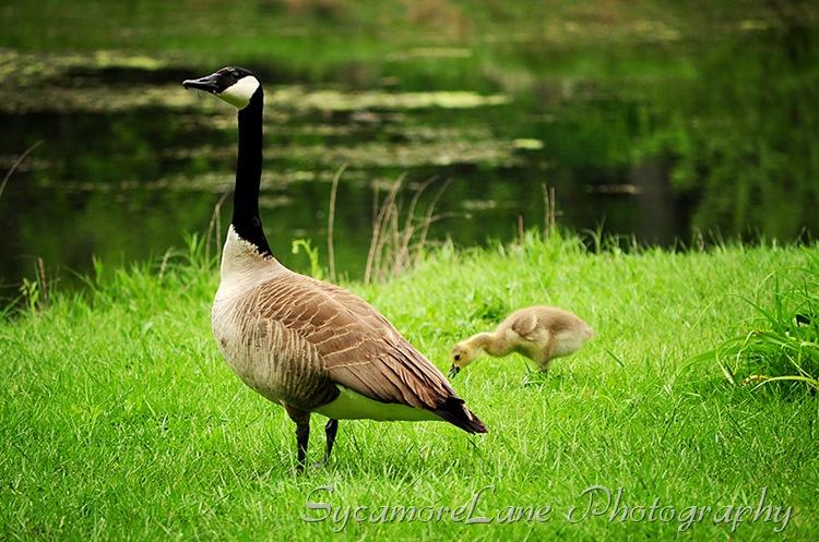 goose-3-w