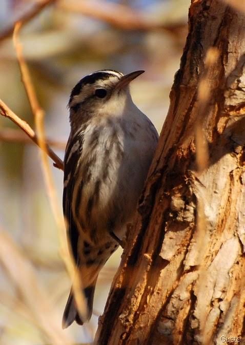 6d. blackandwhite warbler-gusto