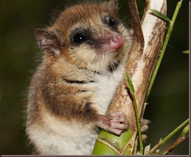 Amazing Animal Pictures Monito del monte (3)