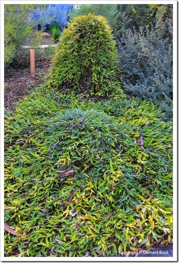 131124_UCD_Arboretum_AustralianCollection_Grevillea-Poorinda-Royal-Mantle_01