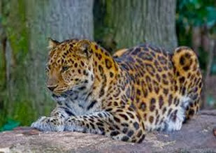 Amazing Pictures of Animals, Photo, Nature, Incredibel, Funny, Zoo, Leopard,Panthera pardus, Mammals, Carnivora, Alex (17)