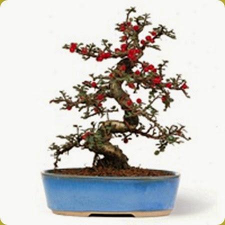 Il cotognastro suggestivo in tutte le stagioni ed una for Arbusto dai fiori rosa e bianchi