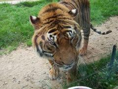 2005.05.06-020 tigre