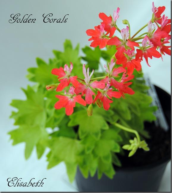 Pelargonium juni-11 015