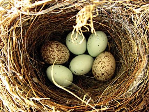 Cowbird eggs in finch nest jpeg