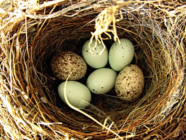 Cowbird eggs in finch nest jpeg